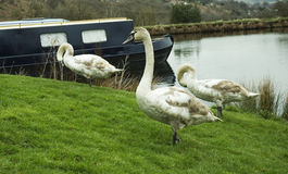 Moored  canal boat with swans Stock Photos