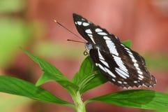 Moorei del reta de Athyma de la mariposa o sargento del Estado Mayor del malayo Foto de archivo libre de regalías