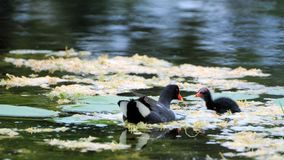 moorhen птицы младенца Стоковая Фотография