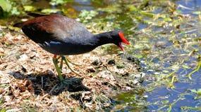 moorhen птицы стоковые фото