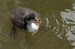 moorhen Stock Photo