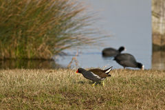 Moorhen. A Moorhen in its Natural Habitat with Two Coots in the Background Royalty Free Stock Image