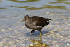 moorhen Photos stock