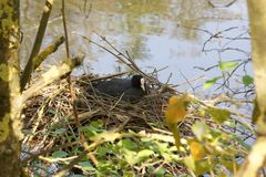 A moorhen ant The nest - France royalty free stock image