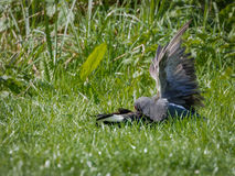 Moorhen attacking second bird, fighting to death Royalty Free Stock Image