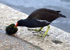 Moorhen Stock Photography