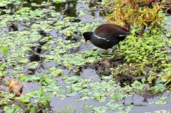 Moorhen Bird Stock Photo