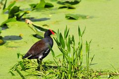 Moorhen Bird in Duckweed Royalty Free Stock Photography