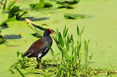 Moorhen Bird in Duckweed Royalty Free Stock Photography