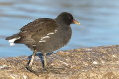 A moorhen at the Cemetery Lake, Southampton Common. A moorhen at the Cemetery Lake on Southampton Common royalty free stock image