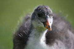 Moorhen chick Stock Photos
