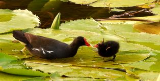Moorhen with Chick feeding Royalty Free Stock Photos