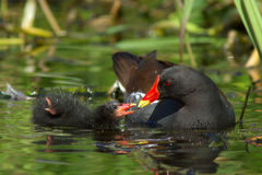 Moorhen and Chick (Gallinula chloropus). A Moorhen and her chick on a reedy pool royalty free stock photo
