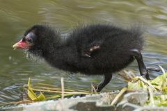 A moorhen chick royalty free stock photography
