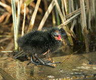 Moorhen Chick Royalty Free Stock Photography