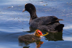 Moorhen with chick Royalty Free Stock Images