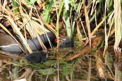 Moorhen with chicks. Common moorhen with his chicks Royalty Free Stock Image