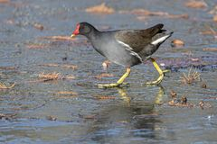 Moorhen duck walking on iced pond royalty free stock images