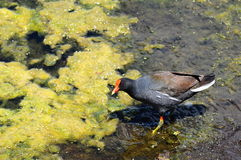 Moorhen and Duckweed Royalty Free Stock Photography