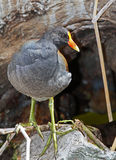 Moorhen Stock Photos