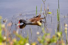 Moorhen Eating (Gallinula chloropus) and Swimming Royalty Free Stock Photo
