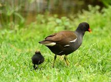 Moorhen family Stock Photos