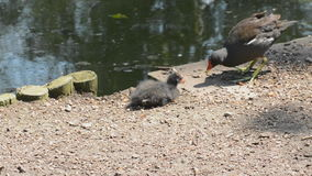 Moorhen feeding chick Stock Photo