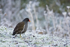 Moorhen on frosty grass Royalty Free Stock Image
