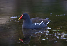 Moorhen (Gallinula chloropus) Stock Photo