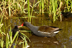 Moorhen Gallinula chloropus feeding chick Royalty Free Stock Photography