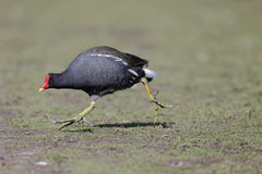 Moorhen, Gallinula chloropus Royalty Free Stock Images