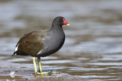 Moorhen, Gallinula chloropus Royalty Free Stock Photography