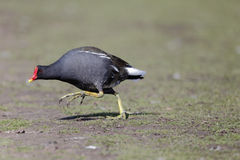 Moorhen, Gallinula chloropus Royalty Free Stock Photos