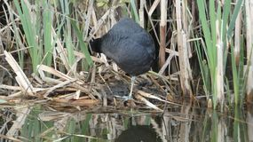 Moorhen is the Silent Guardian in the Reeds Ngetal royalty free stock images