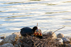 Moorhen with her family of chicks. On a nest constructed of twigs against rocks at the edge of a calm lake Royalty Free Stock Image