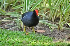 Moorhen (lat. Gallinula chloropus) Stock Photography