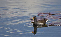 Moorhen Among Lilies (Gallinula chloropus). A moorhen is swimming among lilies stock photo