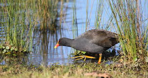 Moorhen in marsh area Stock Photography