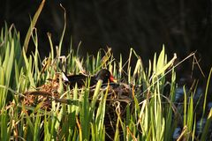 Moorhen on the nest Stock Photo