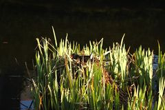 Moorhen on the nest Royalty Free Stock Image