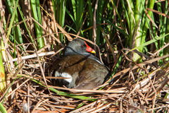 Moorhen in nest Stock Photography