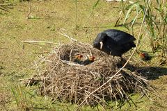 Moorhen. At nest with young ones Stock Photography