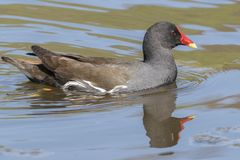 A moorhen on the Ornamental Pond Royalty Free Stock Image