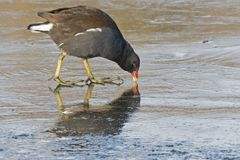 A moorhen pecking the ice. A moorhen pecking at the ice on the Cemetery Lake on Southampton Common, Hampshire, UK stock photography