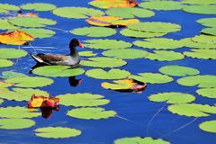 Moorhen in pond Stock Photos