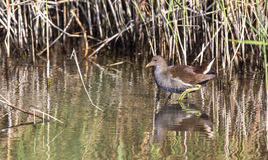 Moorhen Among Reed Stock Photography