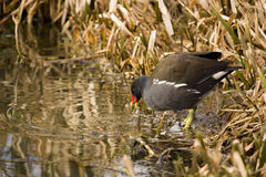 Moorhen between reeds Stock Photography
