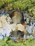 Moorhen with reflection Stock Photography
