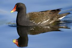 Moorhen and reflex Royalty Free Stock Photography