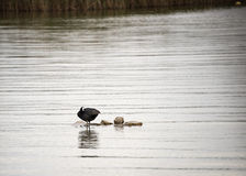 Moorhen on rocks in the water Royalty Free Stock Photography